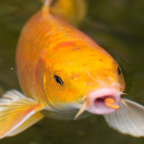 Why do koi have barbels?