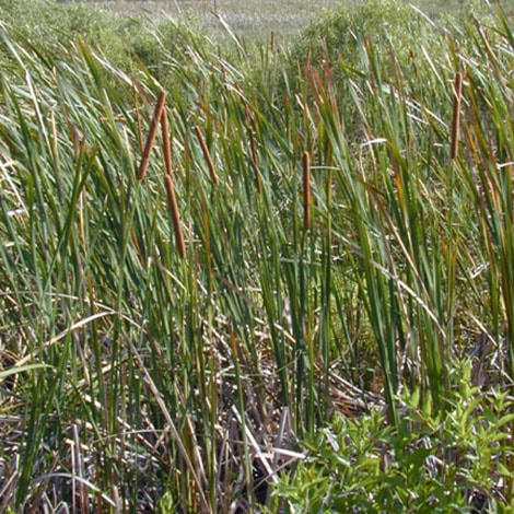 Do I need to cut down the cattails before I spray them?
