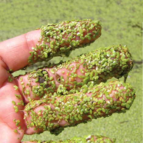 How can I control the duckweed in my pond?