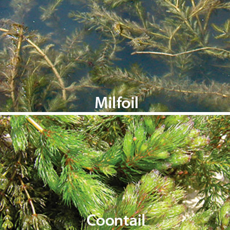 I think I have either milfoil or coontail. How do I tell the difference, and what chemical should I use?