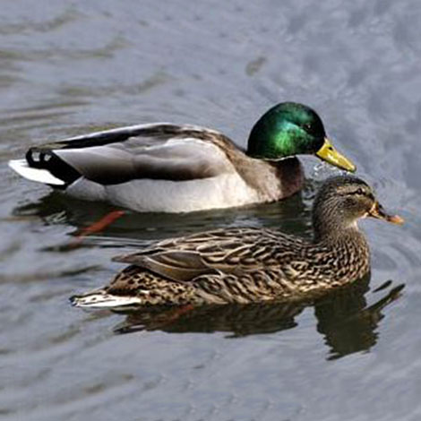 I would love to have ducks at my pond. Is there any harm, and how do I attract them?