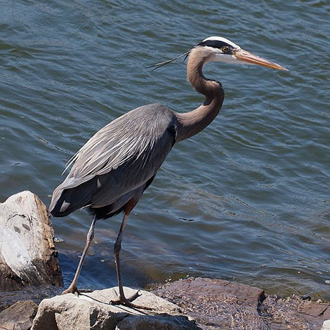 What can I do to help out a fish that was attacked by a heron?