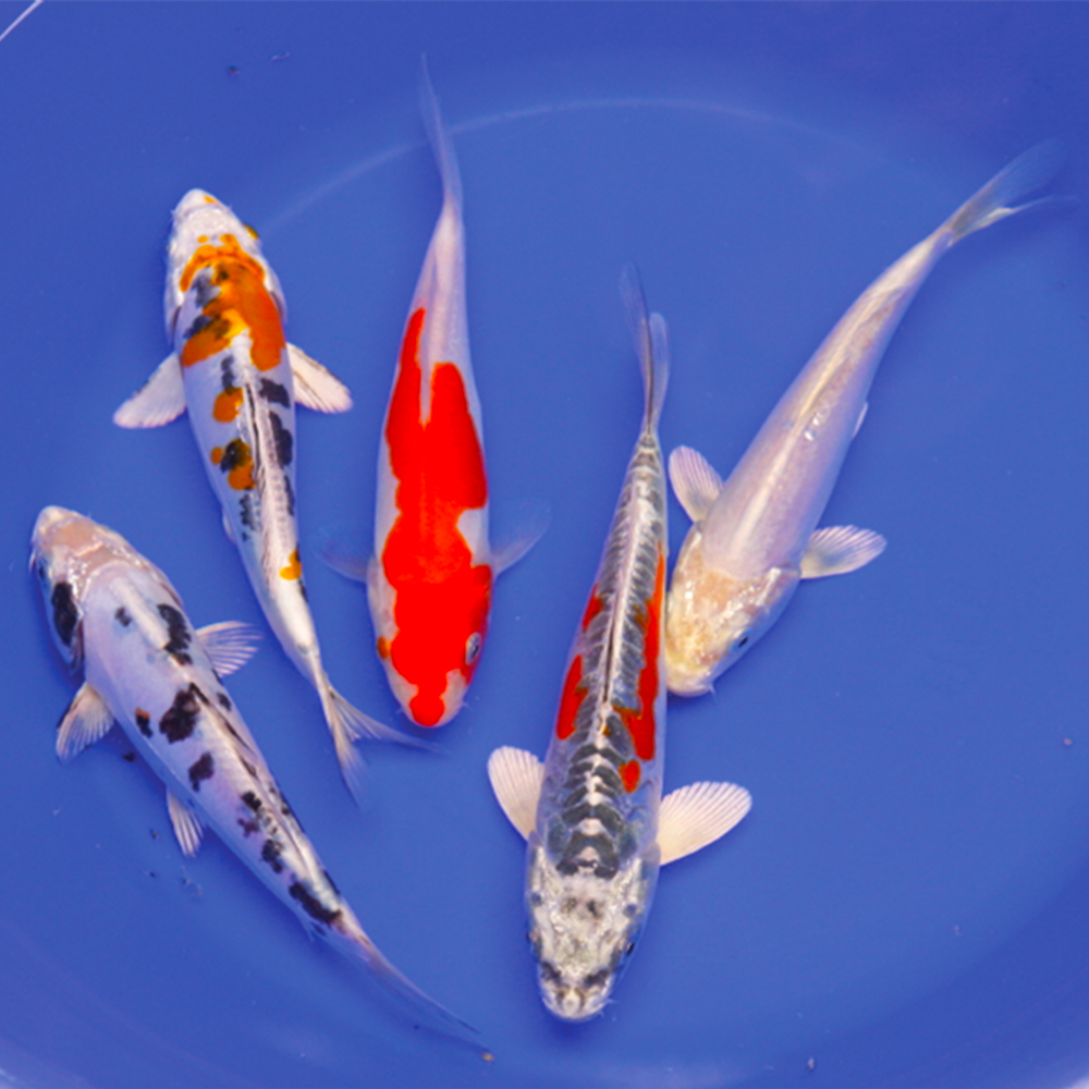 Live Koi Packages
