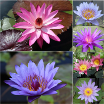 Assorted - Mixed Tropical Water Lilies