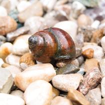 Algae Eating Black Japanese Trapdoor Pond Snails