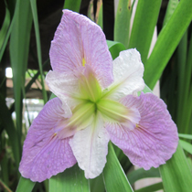 Colorific Bi-Color Louisiana Iris, Bundle of 2