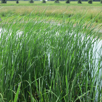 Common Cattail, Bundle of 2