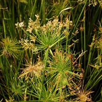 Dwarf Papyrus - Tropical Bog