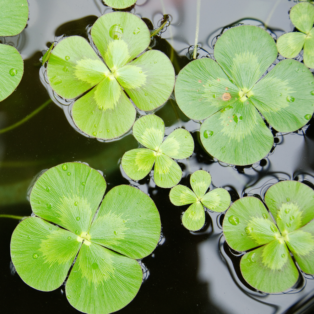 water clover plant four leaf clover plant the pond guy