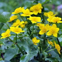 Marsh Marigold, Bundle of 2