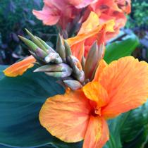 Orange King Humbert Canna - Tropical Bog