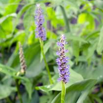 Pickerel Rush - Bog Plant