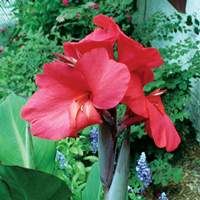 Red King Humbert Canna, Bundle of 2
