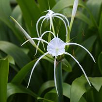Spider Lily - Tropical Bog
