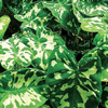 Variegated Taro, Bundle of 2