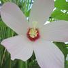 Water Hibiscus - Bog Plant