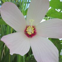 Water Hibiscus, Bundle of 2
