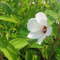White Water Hibiscus