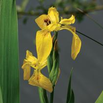 Yellow Flag Iris - Hardy Bog