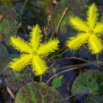 Yellow Snowflake - Tropical Bog