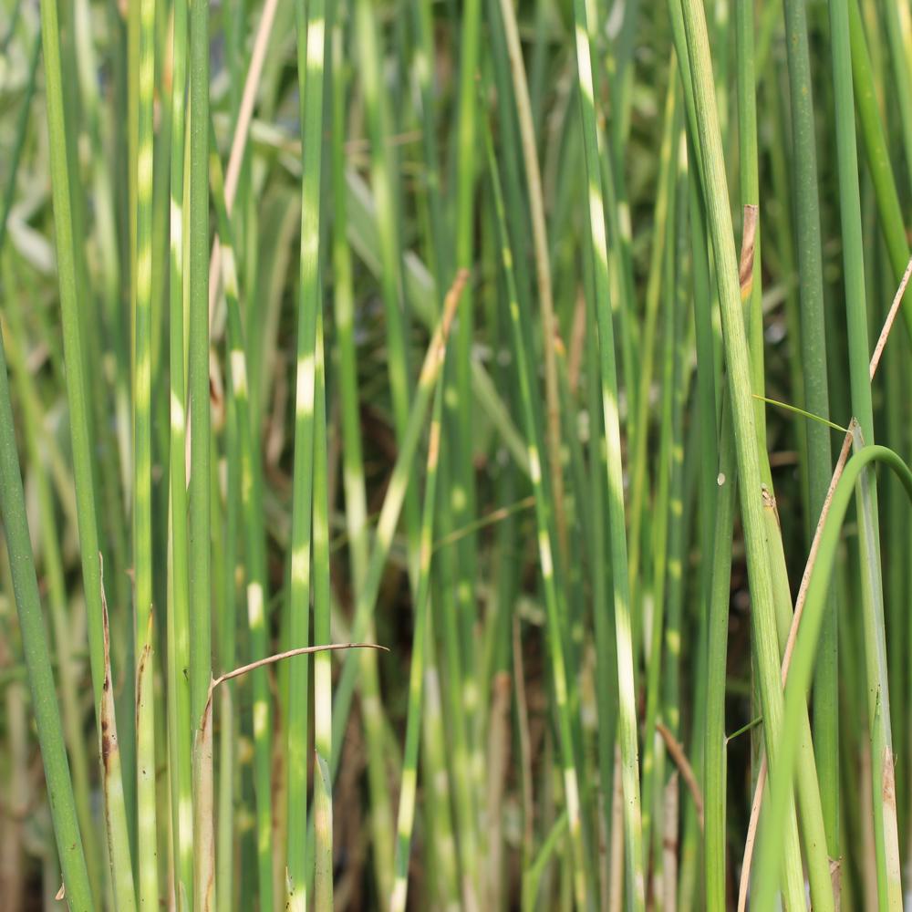Zebra Bulrush, Bundle of 2, Bog Plants: The Pond Guy