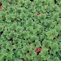 Azolla, Bundle of 2