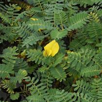 Giant Sensitive Plant, Bundle of 2