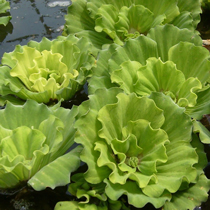 Curly Leaf Rosette Water Lettuce, Bundle of 3