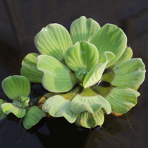 Rosette Water Lettuce, Bundle of 3