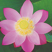 First Lady - Hardy Water Lotus