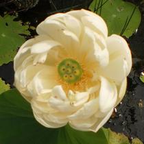 Spring Bird - Hardy Water Lotus
