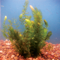 Hornwort, Bundle of 5