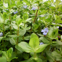 Lemon Bacopa, Bundle of 5