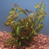 Red Ludwigia, Bundle of 5