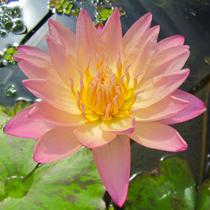 Albert Greenberg Tropical Water Lily