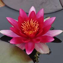 Attraction Hardy Water Lily
