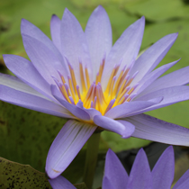 Blue Beauty Tropical Water Lily