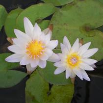 Dauben Blue Tropical Lily