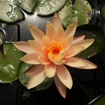 Georgia Peach Hardy Water Lily