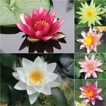 Grower's Choice Hardy Water Lilies