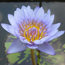 Leopardess Tropical Water Lily