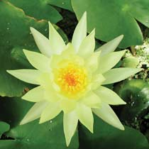 Mexicana Hardy Water Lily