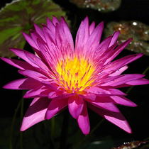 Miami Rose Tropical Water Lily