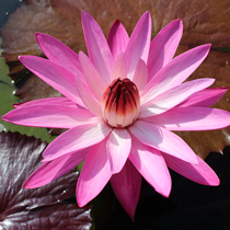 Mrs. George C. Hitchcock Tropical Water Lily