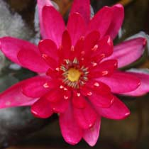 Perry's Red Glow Hardy Water Lily