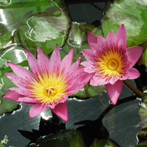 Queen of Siam Tropical Water Lily