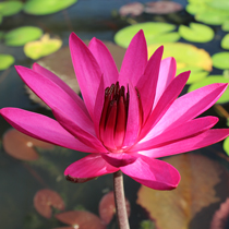Red Cup Night Blooming Tropical Water Lily
