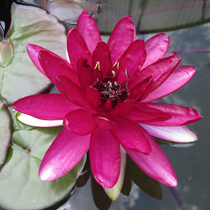 Red Paradise Hardy Water Lily