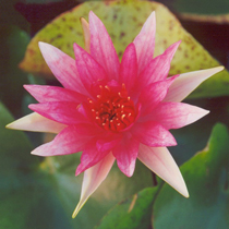 Red Spider Hardy Water Lily