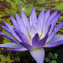 Star of Siam Tropical Water Lily